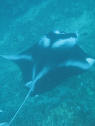 Manta Ray at Ukumehame