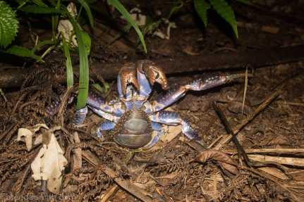 Threatened coconut crab. They don't appreciate the lights...