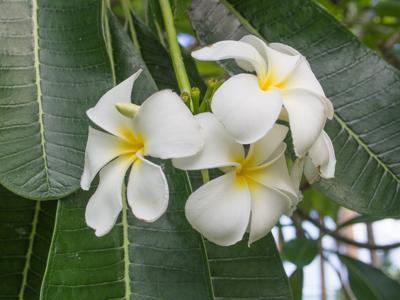 Frangipani ~ Pua ~ Plumeria