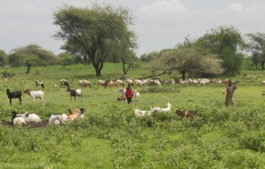 Maasai children are responsible for herding the goats